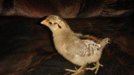 Чешская золотистая порода кур