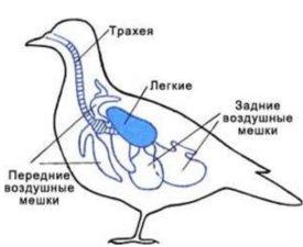 Дыхательная система кур