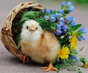 Выбираем кличку для цыпленка