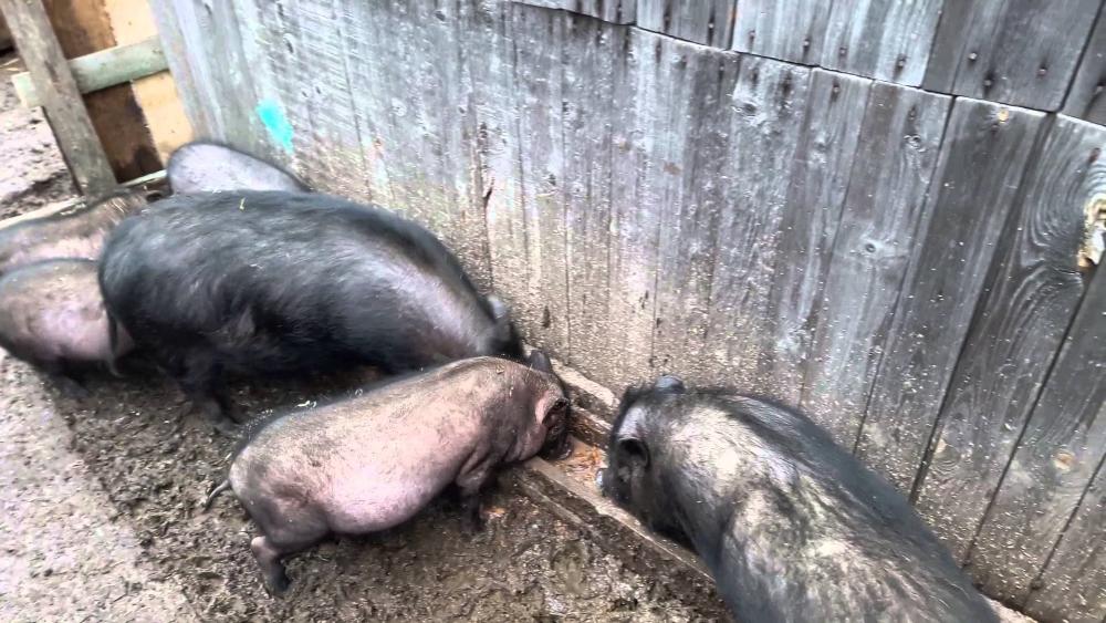 Содержание вьетнамских свиней в домашних условиях 90