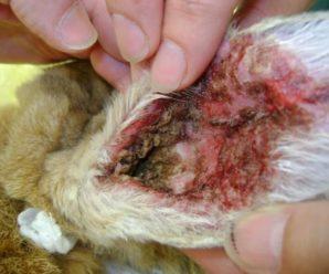 Чем опасен ушной клещ у кроликов: пути заражения и методы лечения