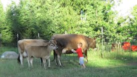 Порода коров джерси