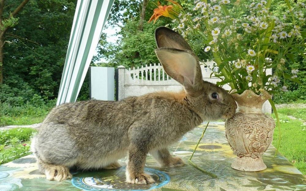 Кролик Обер