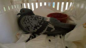 Орнитоз у голубей