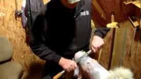Как выделывать шкуру козы