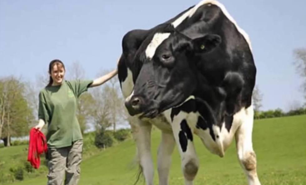 Мясные породы быков