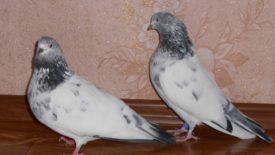 Бойные породы голубей