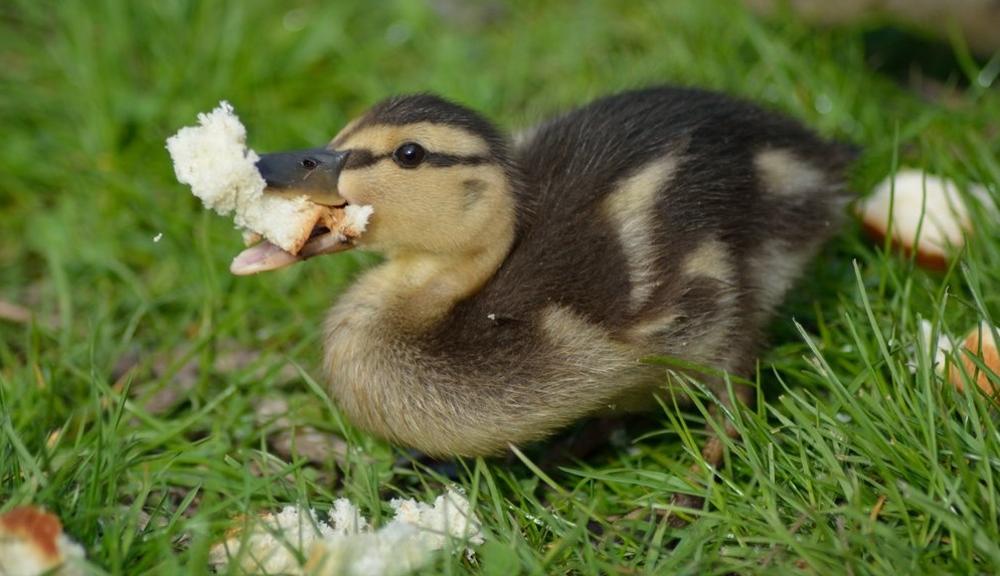Утка ест хлеб