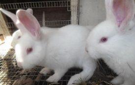 Крольчата Белый паннон