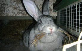 Крольчиха серый великан