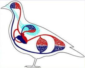 Кровеносная система кур