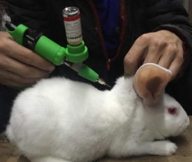 Кролика вакцинируют