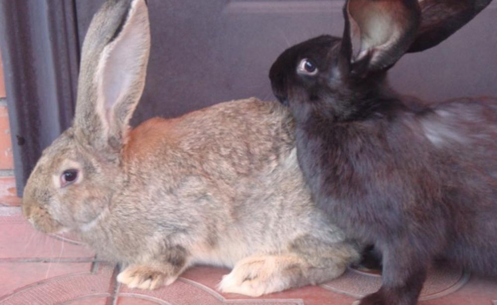 Крольчата Оберы