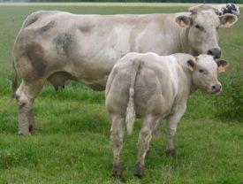 Корова и теленок Шароле