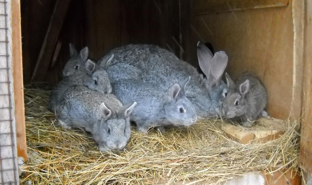 Крольчата серые великаны