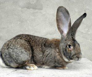 Кролик Обер — самая крупная порода в мире