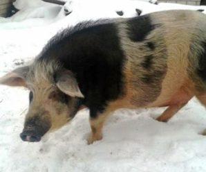 Полудикие свиньи кармал – самая экономически выгодная порода