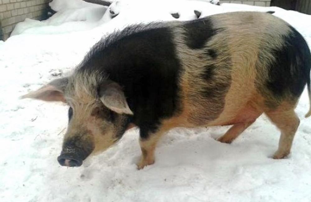 Свинья кармал