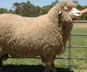 Советский меринос: характеристика продуктивности тонкорунных овец и особенности ухода за ними