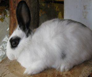 Русский горностаевый кролик – отечественная порода, обладатель идеального меха
