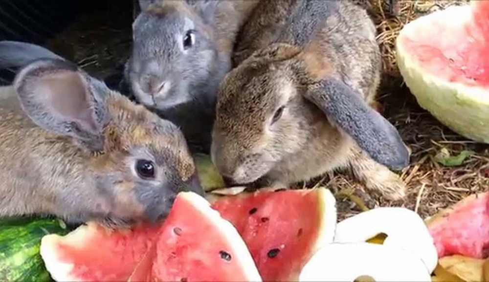 Кролики едят арбуз