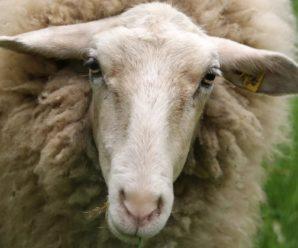 Ценуроз овец: симптомы опасного заболевания и методика его лечения