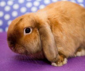Вислоухий карликовый кролик баран – непоседливый домашний любимец