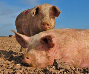 Биодобавки и стимуляторы роста для свиней: польза или неоспоримый вред