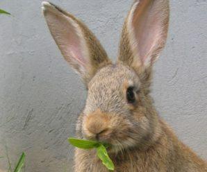 Можно ли давать кроликам пшеницу, ячмень и кукурузу: полезные свойства злаков и правила приготовления кормов