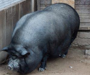 Сколько ходит беременная свинья: средняя продолжительность