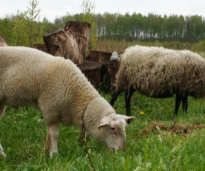 Кормление овец: обзор видов кормов и особенности режима питания животных