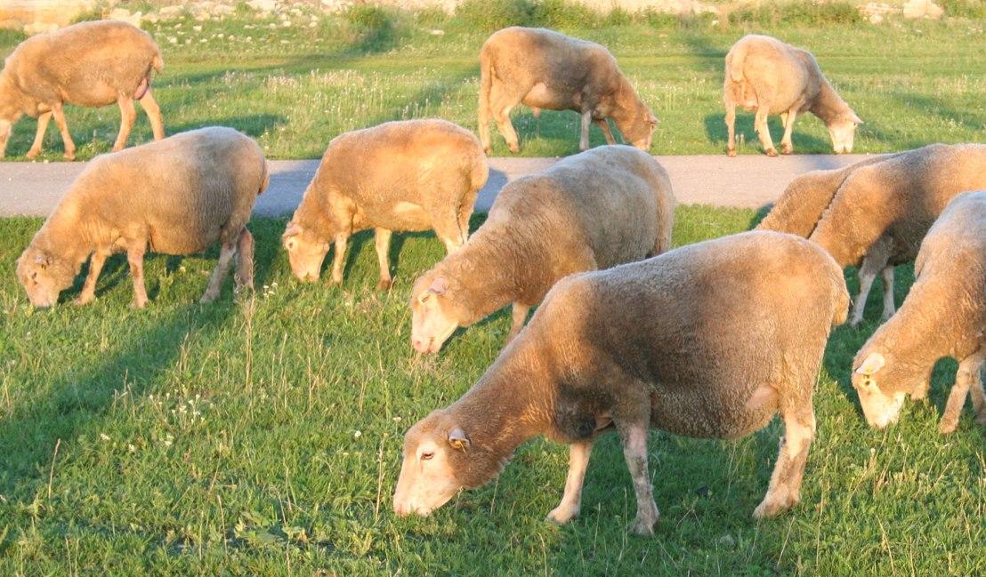 Мясные породы баранов и овец