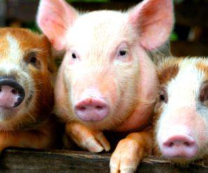 Аскаридоз у свиней – это заразная болезнь, опасная для людей
