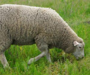 Мясные породы баранов и овец: самые яркие представители пород мясного направления