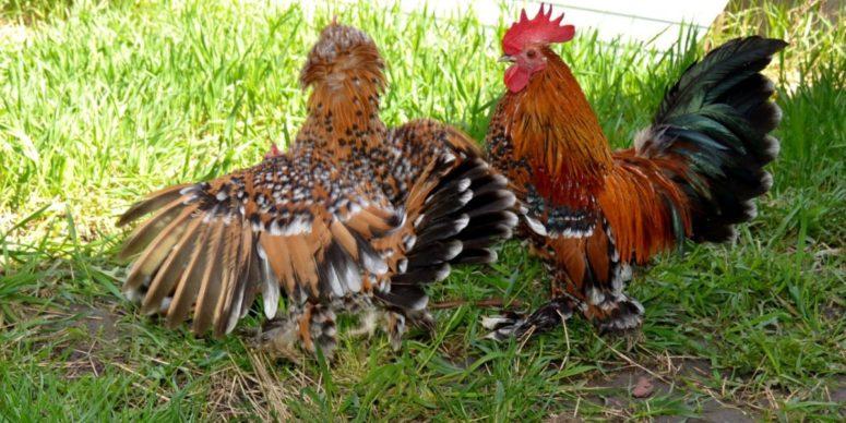 Порода кур Мильфлер: миниатюрные птички с высокой яичной продуктивностью