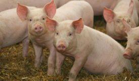 Незаразные болезни свиней