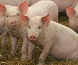 Незаразные болезни свиней: диагностика, лечение и профилактика