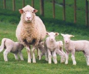 Разведение овец как бизнес: с чего начать и как получать максимальную прибыль