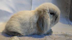 Вислоухий карликовый кролик баран
