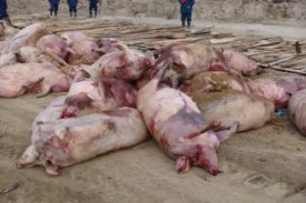 Свиньи пораженные чумой