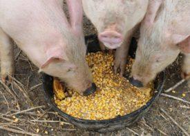 Свиньи едят из миски