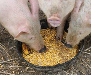 Что едят свиньи: подбираем правильный рацион