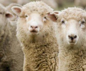Овцы прекос – сочетание высокой продуктивности и внешней привлекательности