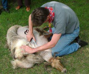 Как стричь овец: сроки и техника стрижки пород различного направления