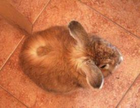 У кролика лишай