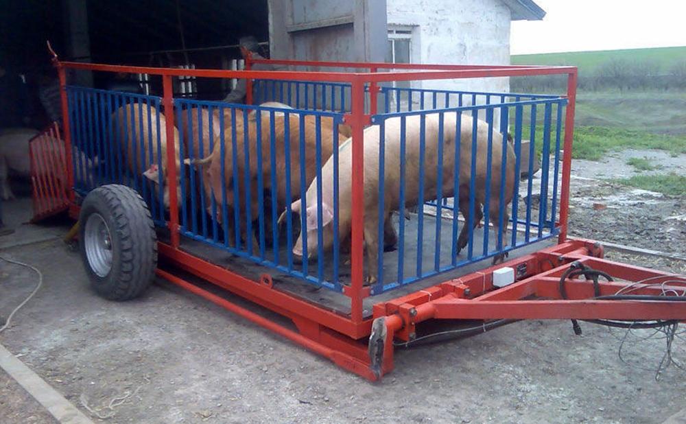 Свиньи в прицепе