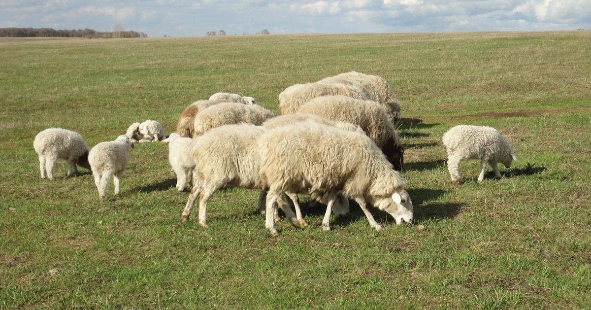 Овцы прекос