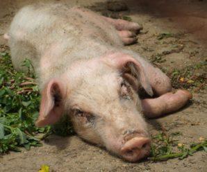 Отечная болезнь поросят — бич крупных свиноводческих хозяйств