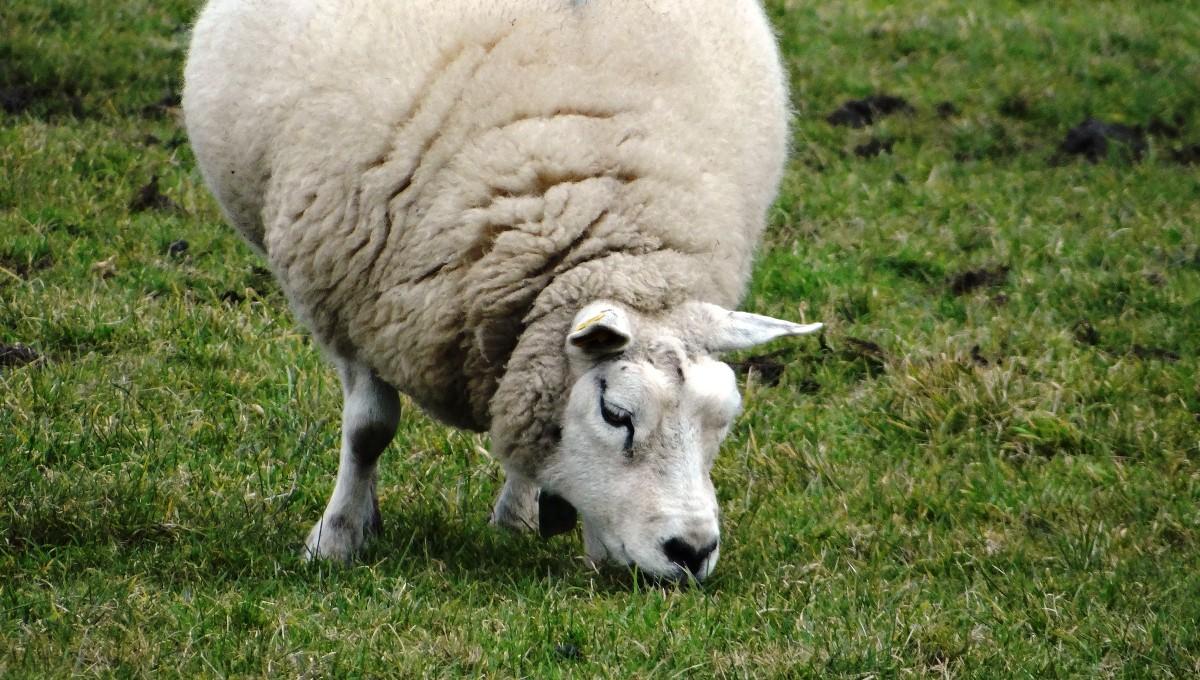 Схема вакцинация овец