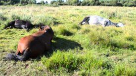 Как спят лошади